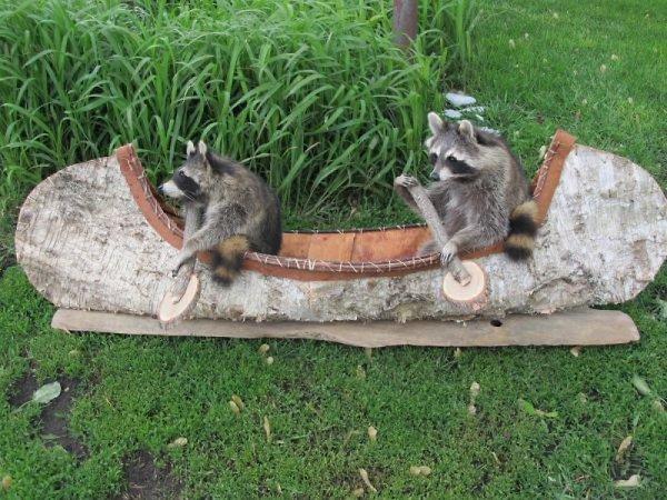 Two Raccoons Paddling a Canoe
